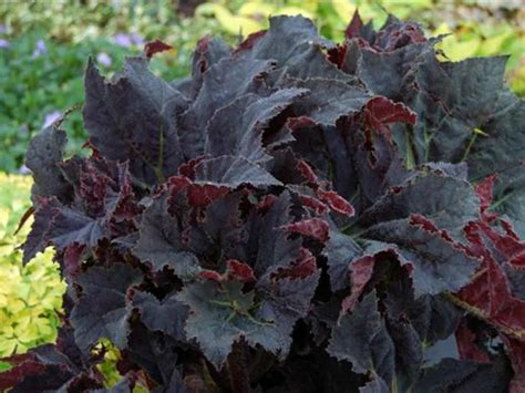Begonia 'Black Mamba' (Black Mamba Begonia) | World of ...