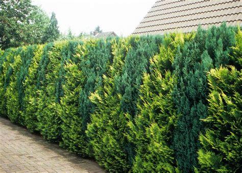 thuja hecke giftig 1000 ideas about thuja occidentalis on cedrus deodara shrubs and blue spruce