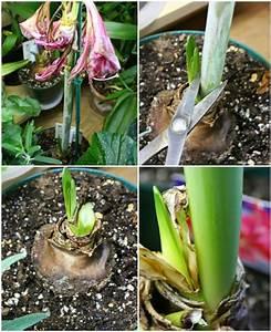 Amaryllis Pflege Nach Verblühen : so pflegen sie die wundersch ne amaryllis im topf rund ums ~ Lizthompson.info Haus und Dekorationen