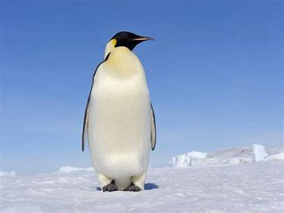 Penguin Penguins Emperor Meaning Birds Animal Fly
