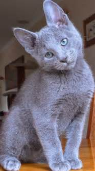 russian blue cat temperament personality and grooming