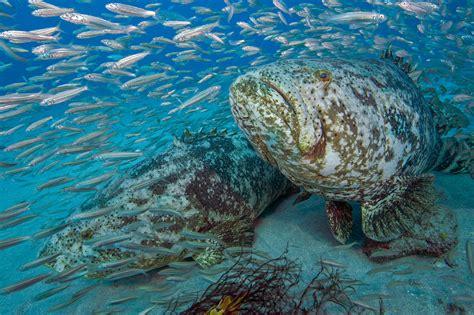 grouper goliath swimming super bonaire esso florida scad reef jupiter rests artificial pair bottom near while round goliaths overhead swim