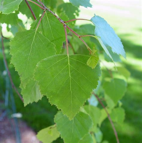 tree foliage betula pendula european weeping birch go botany