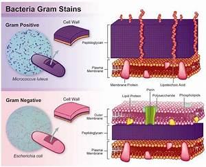 Difference Between Cell Wall Of Gram