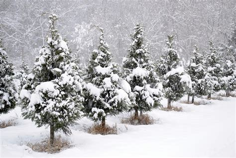 white christmas at the christmas tree farm photograph by
