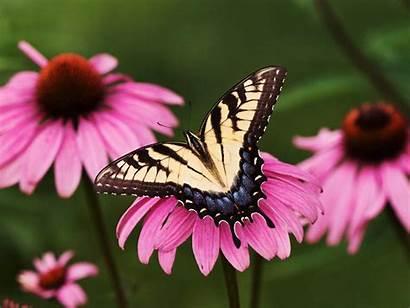Butterflies Wallpapers Butterfly Pretty Background Butterflys Beauty