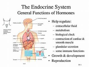 Endocrine System Diagram For Kids - Anatomy Body List
