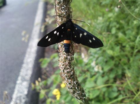 insetto nero volante insetto dolorosissimo farfalle funghi in italia