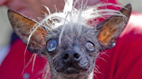 world s ugliest dog see 6 of the canine competitors