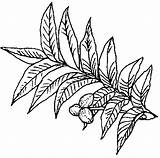Pecan Tree Texas Coloring Symbols Pages Clipart Sandbox State Drawing Pie Plant Colouring Eazi Nut Tpwd Tx Grows Someone Say sketch template