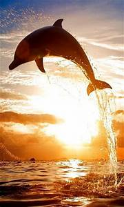 beautiful picture of a dolphin jumping out of the water ...