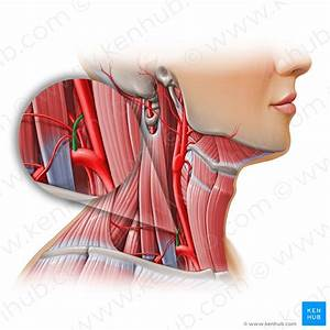 Sternocleidomastoid Muscle  Anatomy And Functions