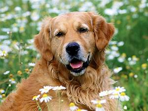 Golden Red River : golden retriever animals photos ~ Orissabook.com Haus und Dekorationen