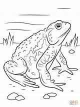 Toad Coloring Colorear Kikkers Colorare Asiatic Spadefoot Printable Kleurplaat Kleurplaten Pad Fire Disegni Frog Rospi Dibujos Cane Animales Anfibios Drawings sketch template