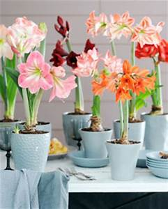 Amaryllis entretien en pot 28 images amaryllis culture for Tapis chambre bébé avec fleurs a bulbe amaryllis