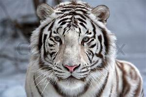 Tiger Face Side View - Bing