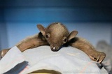 Video: Adorable Baby Anteater Reunited With Mom In The Wild