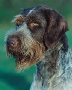 1000 images about hound and hunting dogs on pinterest
