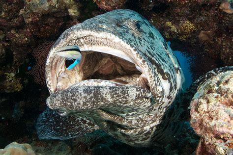 grouper reef barrier cod fish potato hole tukula epinephelus cleaner cods mouth