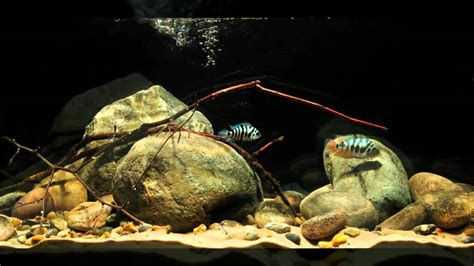 Aquascaping Cichlid Aquarium by Basic Ca Cichlid Aquascape