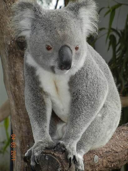 Koala Bear Bears Rocked Rocky Koalas Wallpapers