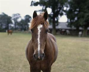 Horses - Facial Markings and What They Mean