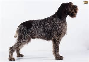 wirehaired pointing griffons for sale wirehaired wiring diagram free