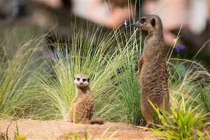 Meerkat Desktop Wallpapers Wild Animals Wildlife Backgrounds