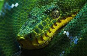 Green tree python Full HD Wallpaper and Background Image ...