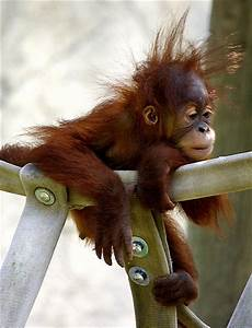 Funny Animals: Funny Orangutan Pictures/Images