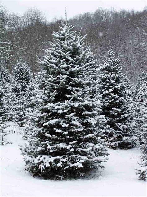 real christmas trees   choose  perfect tree