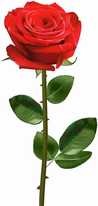 Stem Rose Transparent Pink Clipart Roses Yopriceville