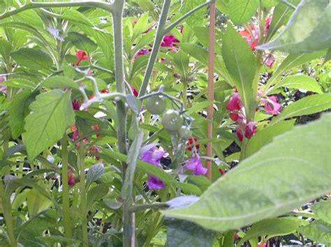 Tomaten Im Blumenkasten by Was Bl 252 Ht Bei Euch Gerade Auf Dem Balkon Im Garten Co