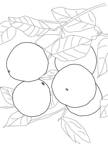 grapefruits  tree coloring page supercoloringcom