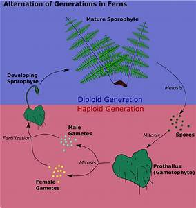 File:Alternation of generations in ferns.png - Wikimedia ...