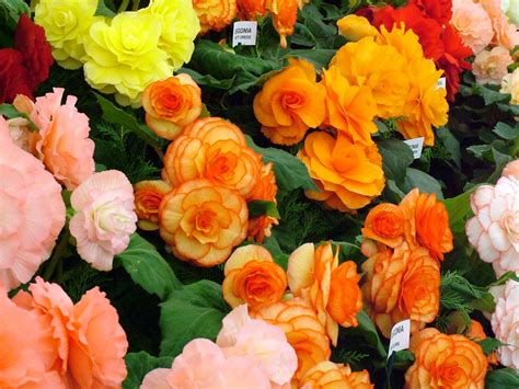 are begonias annuals flowers for flower lovers begonia flowers pictures