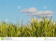 Mature Sugar Cane Tops Set Against A Blue Cloudy S Stock