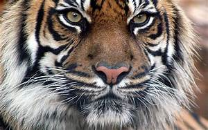 Bengal Tiger Face HD desktop wallpaper : Widescreen : High ...