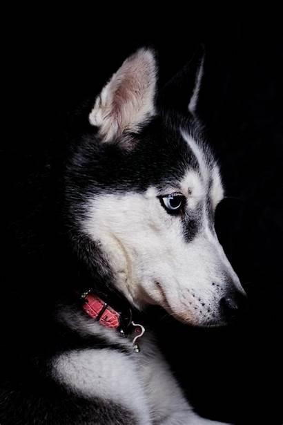Dog Husky Siberian Wallpapers Profile Drz Close