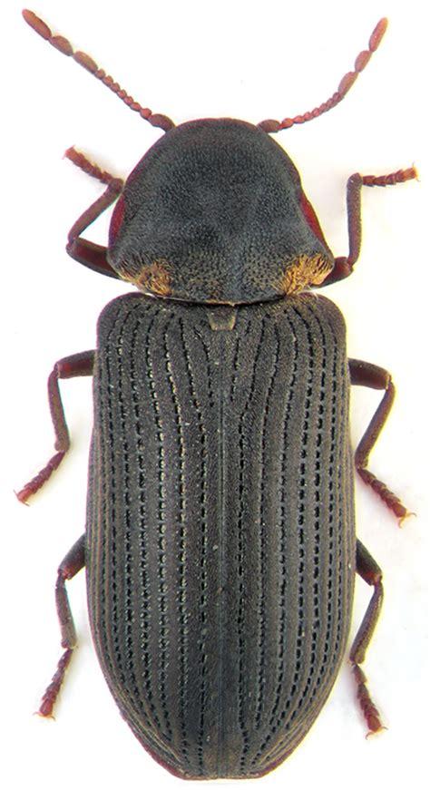 hadrobregmus pertinax  anobiidae atlas zhukov rossii
