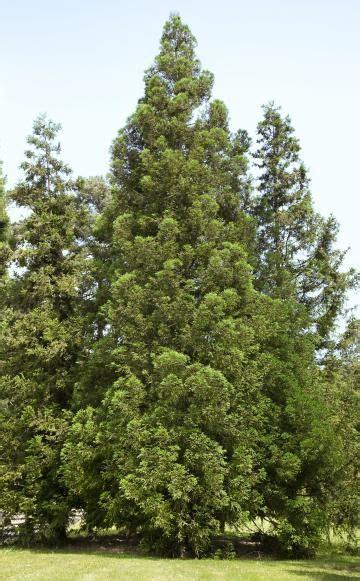 Japanischer Garten Nadelbaum by Japanische Sicheltanne Ziergarten Plants Garden