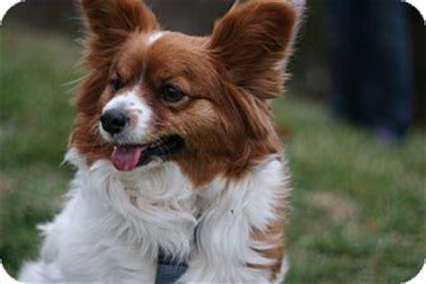 cricket adopted dog staunton va papillonsheltie