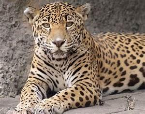 Inside the Jaguar Jungle: What to know about Audubon Zoo ...  Jaguar