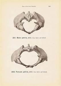 Tail Bone Male And Female Pelvis Diagram Print Steel Engra