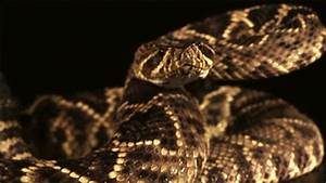 Rattlesnake GIFs - Find & Share on GIPHY