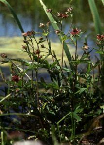 purva vārnkāja - Comarum palustre L. - Augi - Latvijas daba