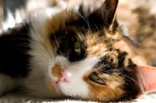 calico cat name flower