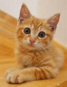 orange tabby cat best 20 orange tabby kittens ideas on