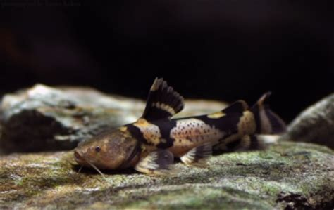 pseudopimelodus bufonius giant bumblebee catfish