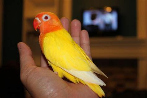 Lutino Fischer Love Birds